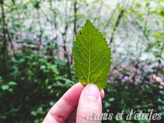 herbae1